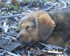 Hondje Manque slapend in de zon