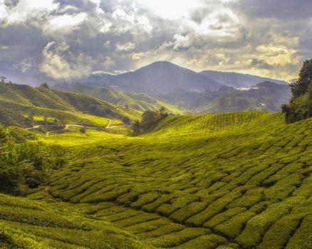 velden met groene thee