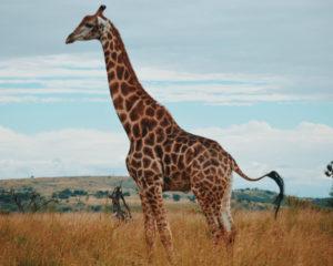 Giraf in Zuid-Afrika
