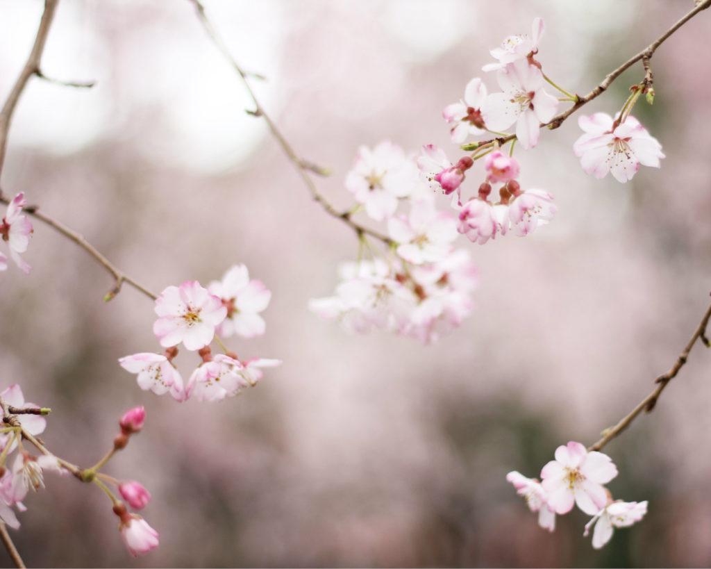 Japan is niet alleen bekend om de prachtige cherry blossom in de lente, het is ook bekend om Okinawa waar de langst levende mensen ter wereld wonen. Hun levenswijze wordt beschreven in Ikigai.